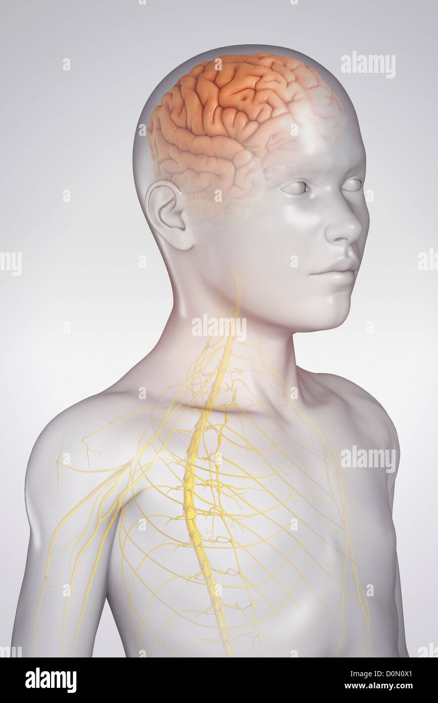Central Sulcus Stock Photos & Central Sulcus Stock Images - Alamy
