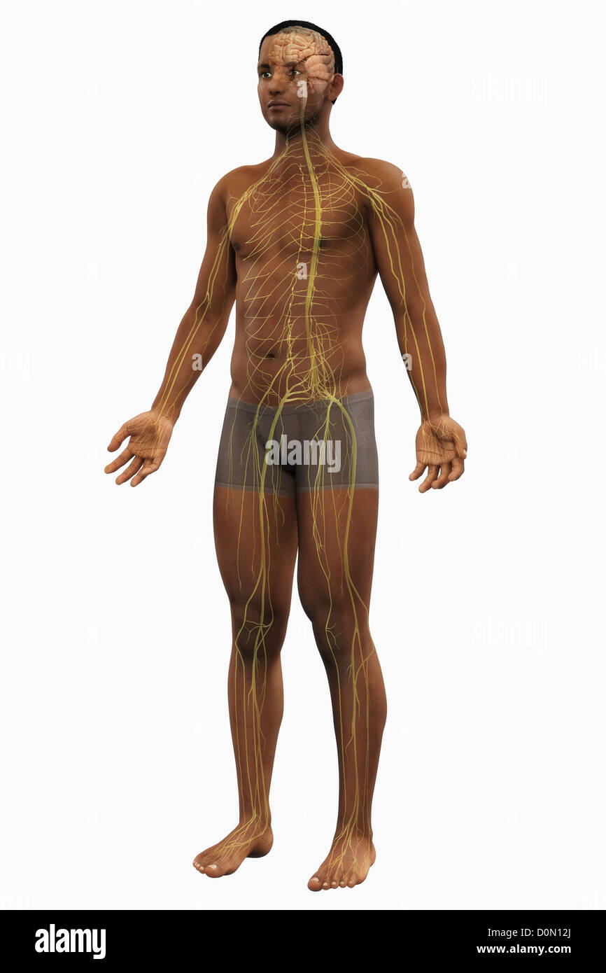 Human Body Anatomy Organs Full Figure Stock Photos & Human Body ...