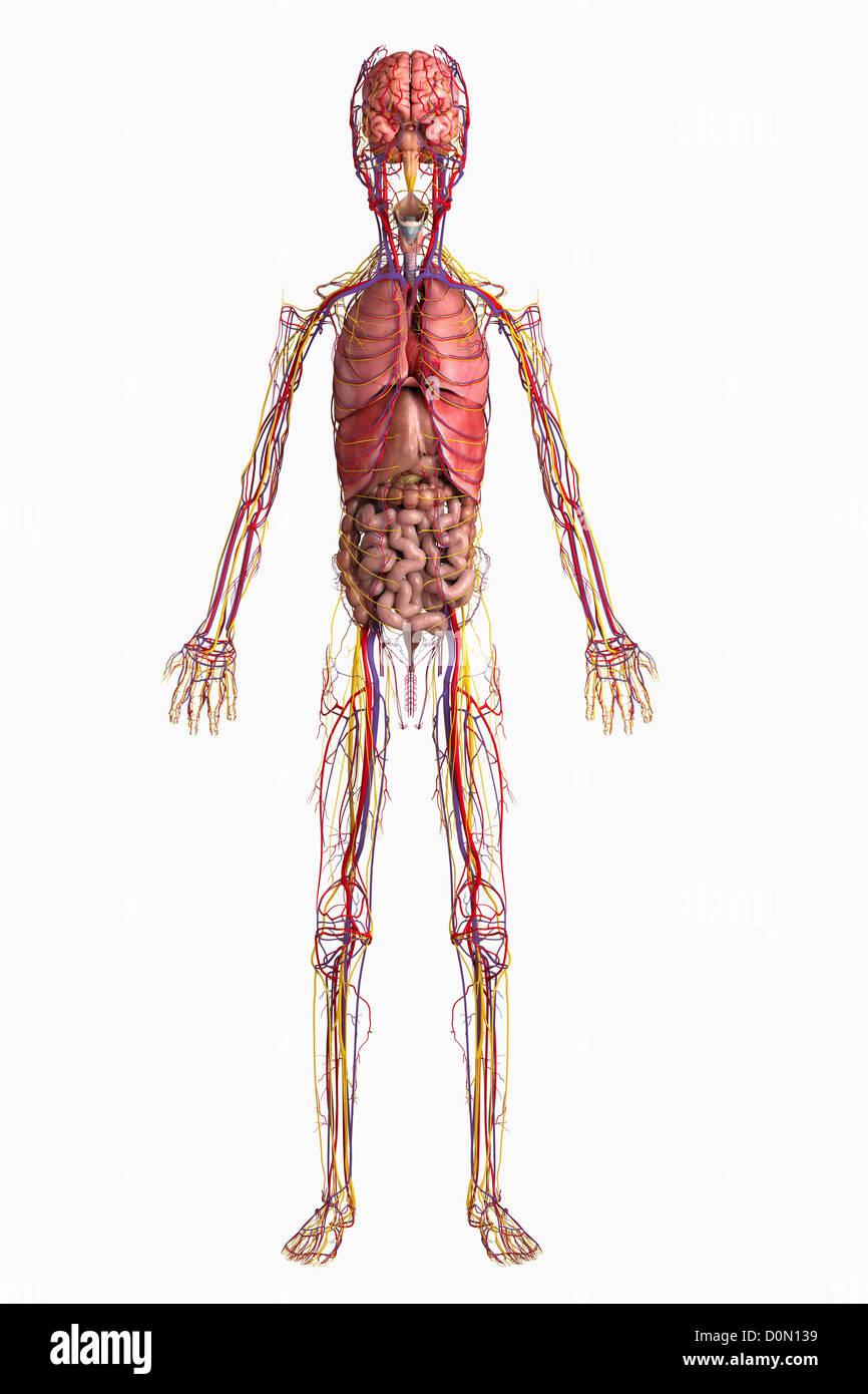 Digital illustration of internal organs of a pre-adolescent male ...