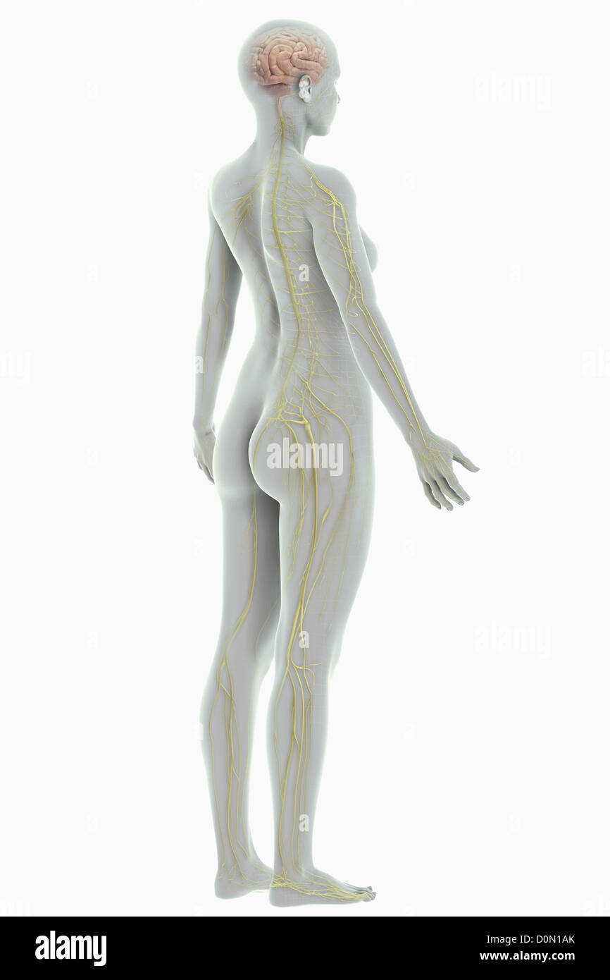 Tibial Nerve Stock Photos & Tibial Nerve Stock Images - Alamy