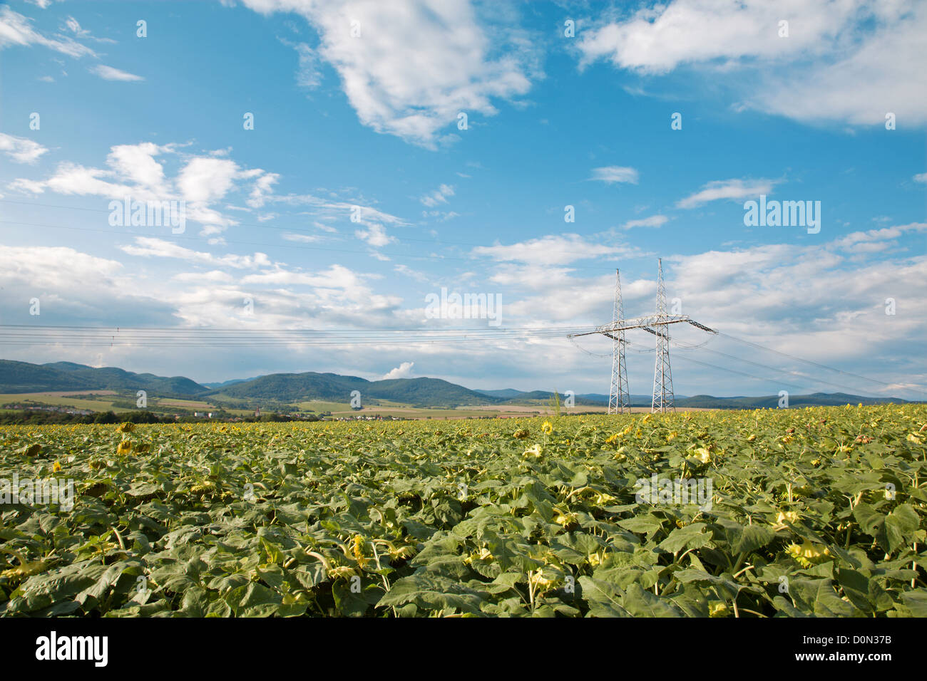 field of sunflowers and sky and mast - Stock Image