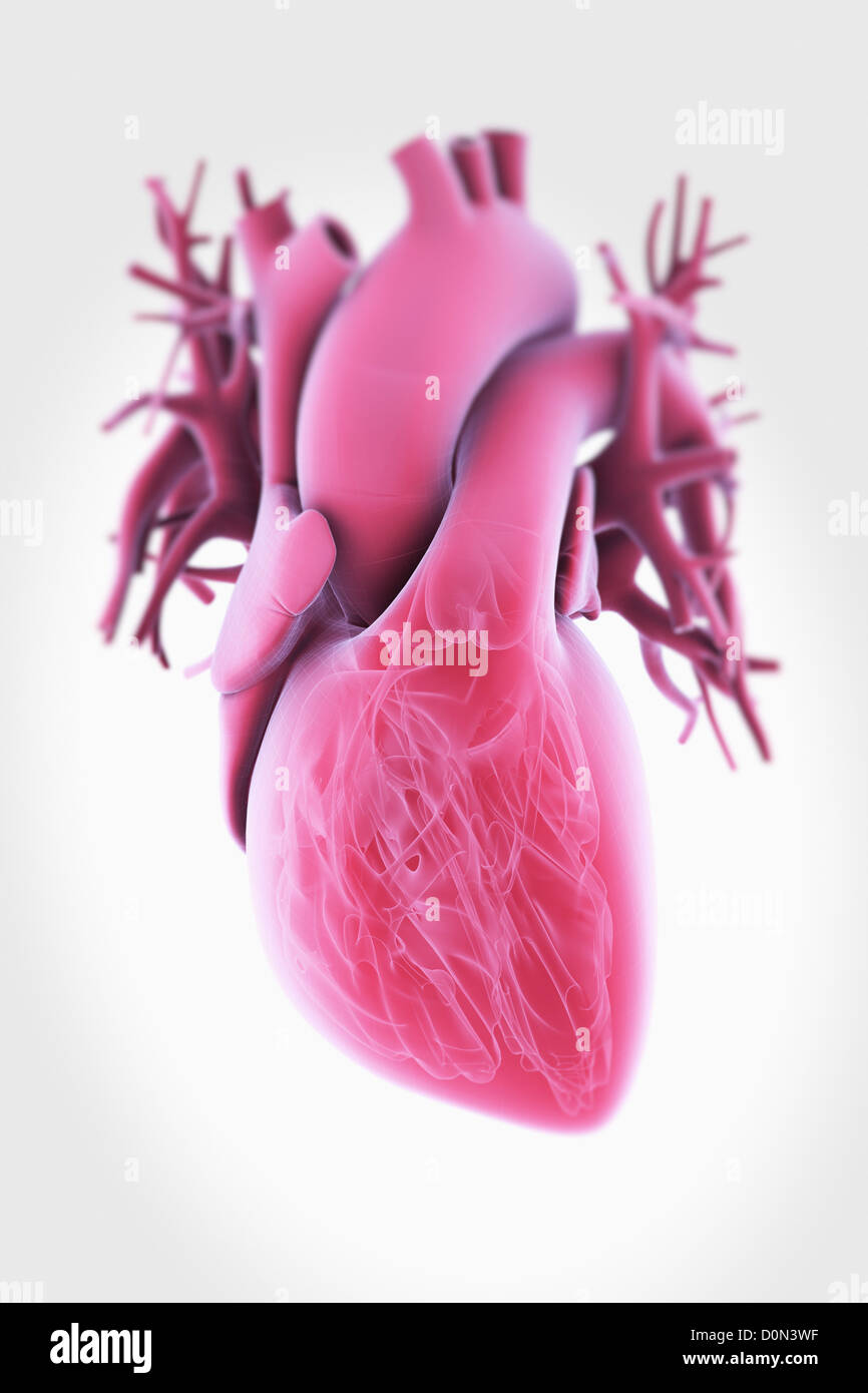 A Transparent Human Heart With Internal Anatomy Visible Stock Photo