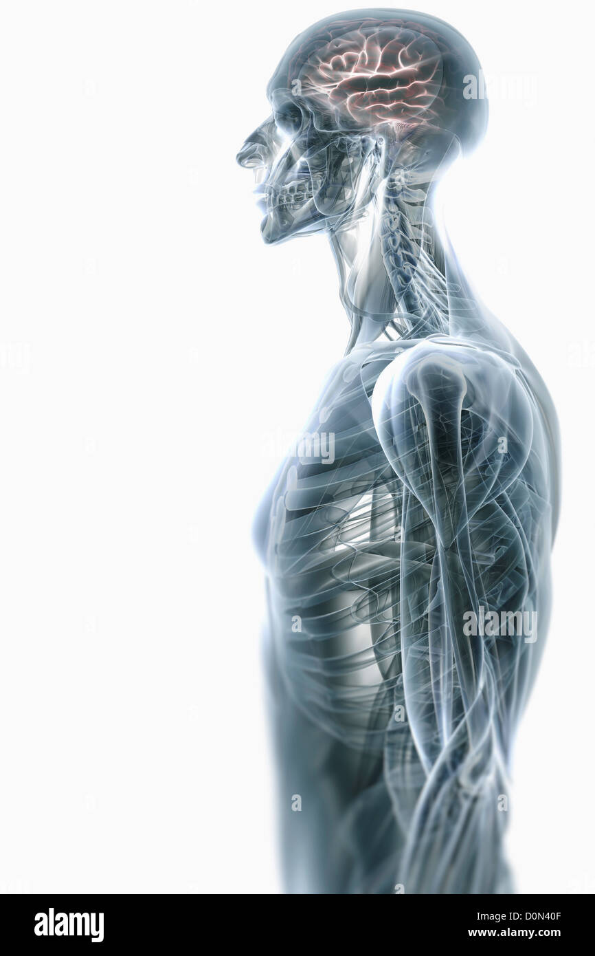 Stylized side view of the upper body with the internal anatomy and ...