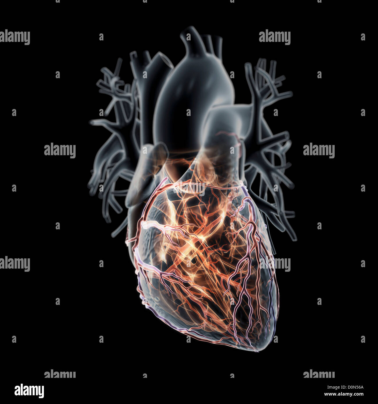 Digital anatomical model heart its coronary blood vessels. heart is ...