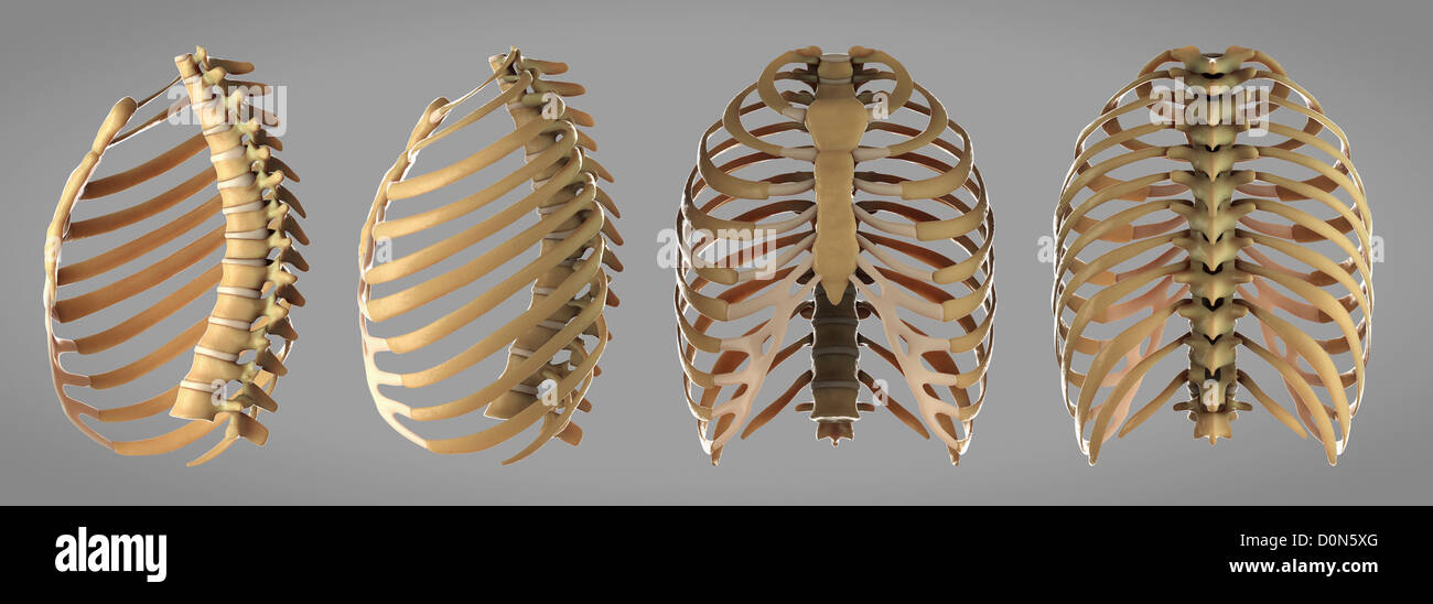 Thoracic Cage Stock Photos Thoracic Cage Stock Images Alamy