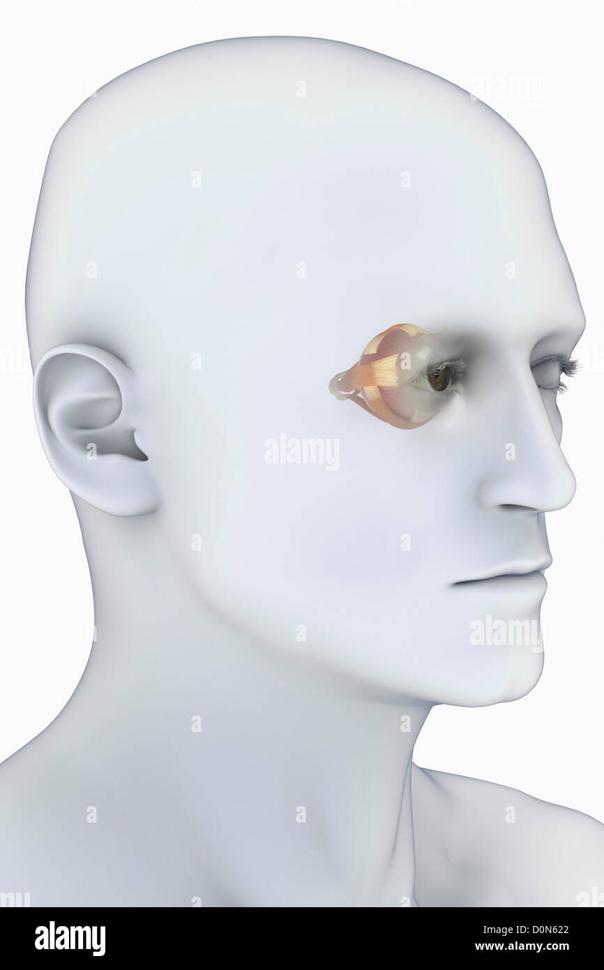 Male head viewed from a three-quarter angle. The anatomy of the ...