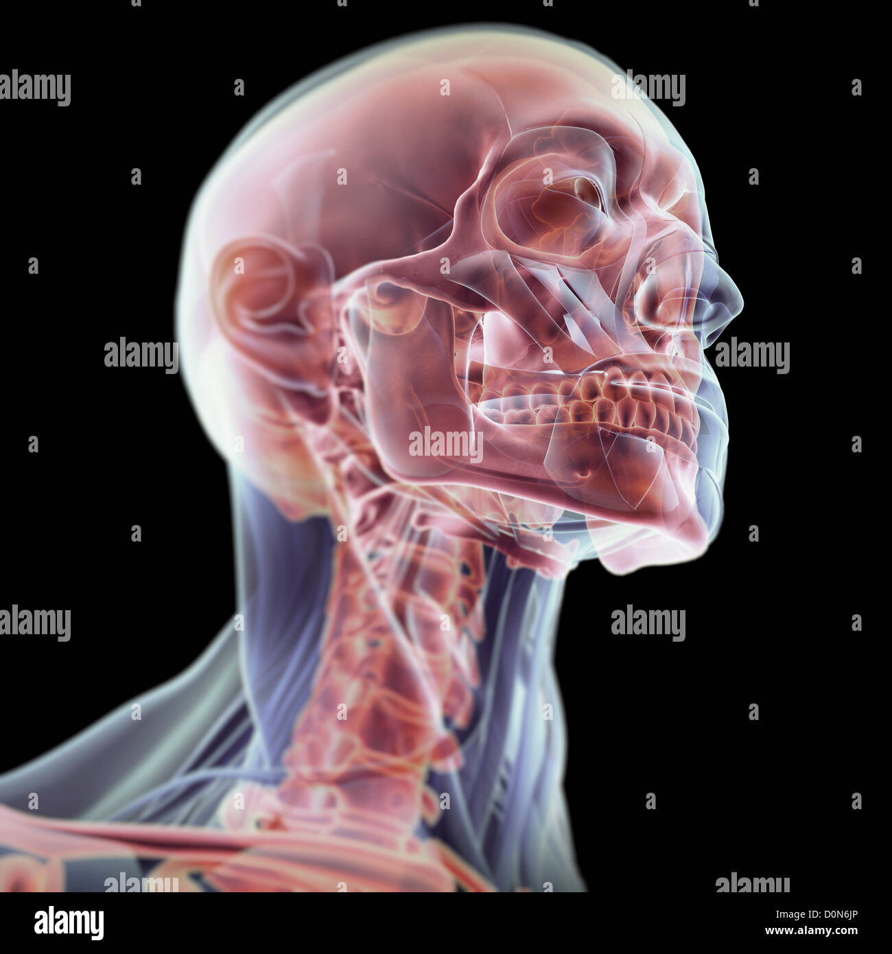 Three-quarter view of the anatomy of the head and neck with Stock ...