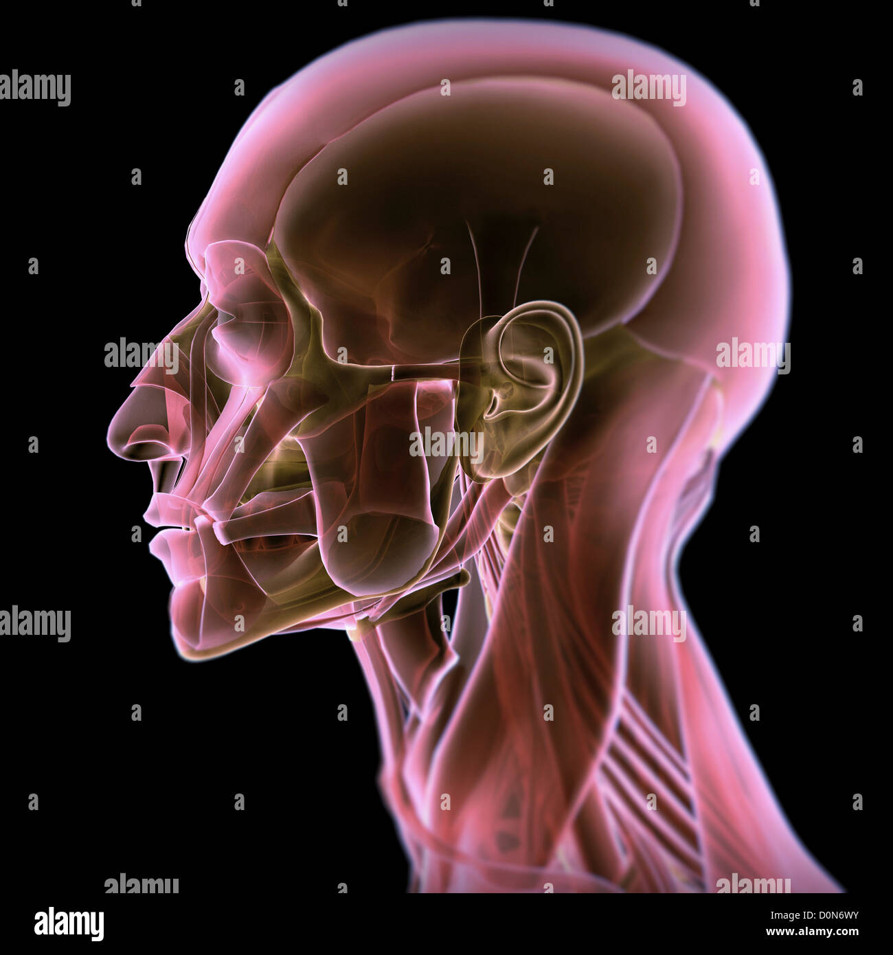 Side view of the anatomy of the head. Stock Photo