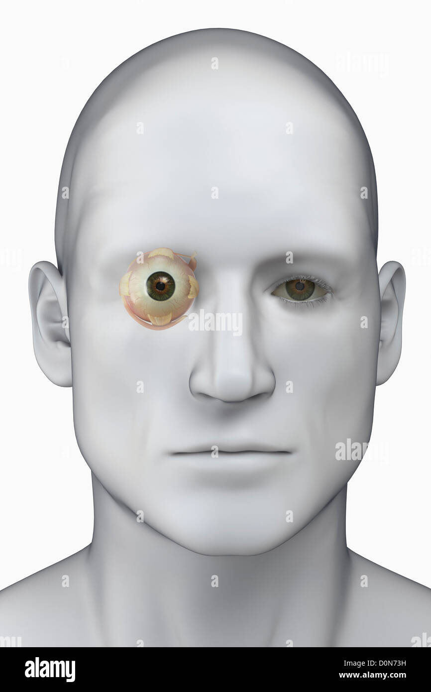 Male head viewed from the front. The anatomy of the right eye is ...