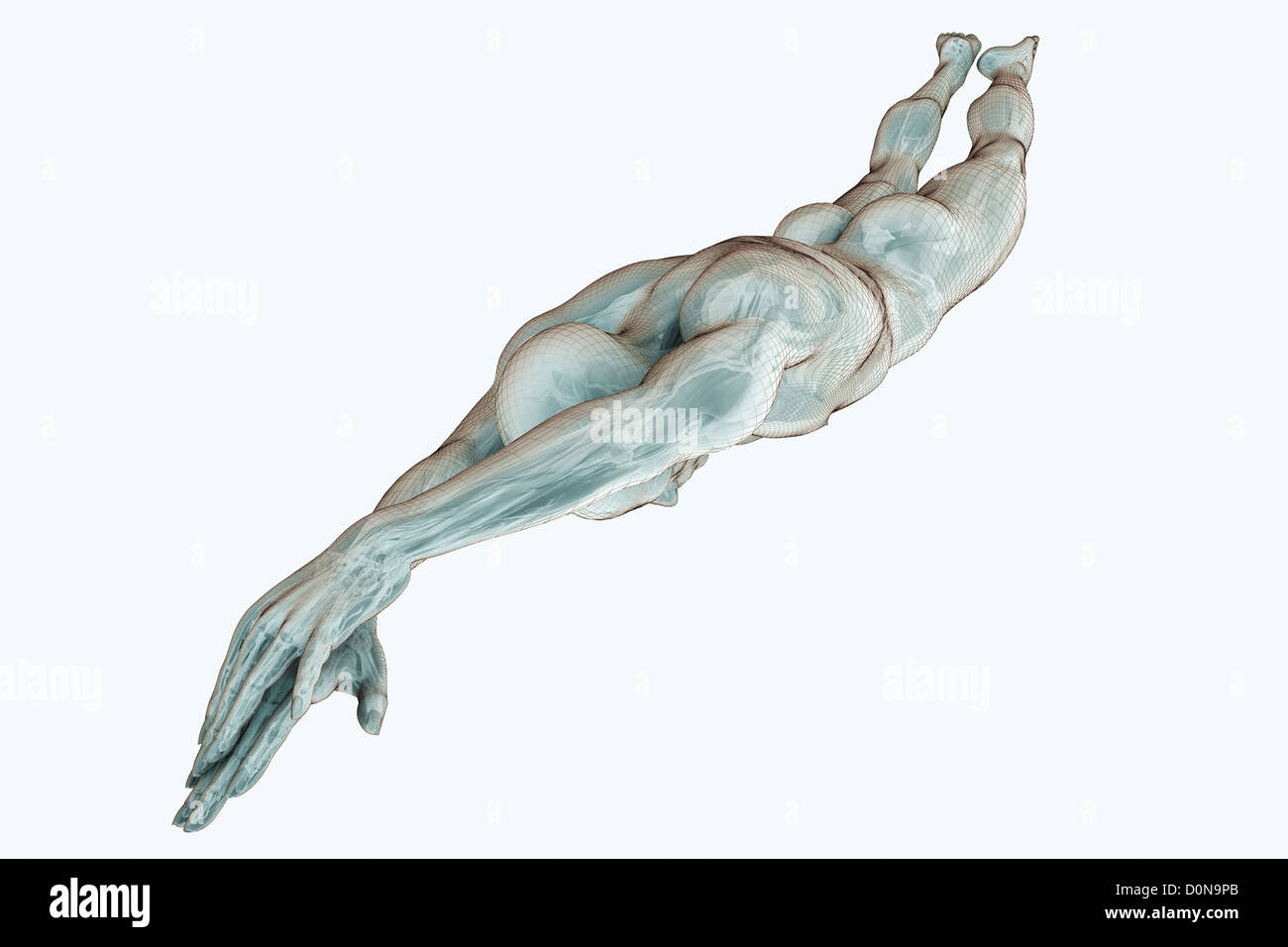 Male figure diving with the internal organs visible. - Stock Image