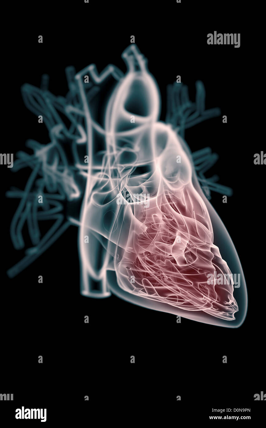 A transparent human heart with the internal anatomy highlighted in ...