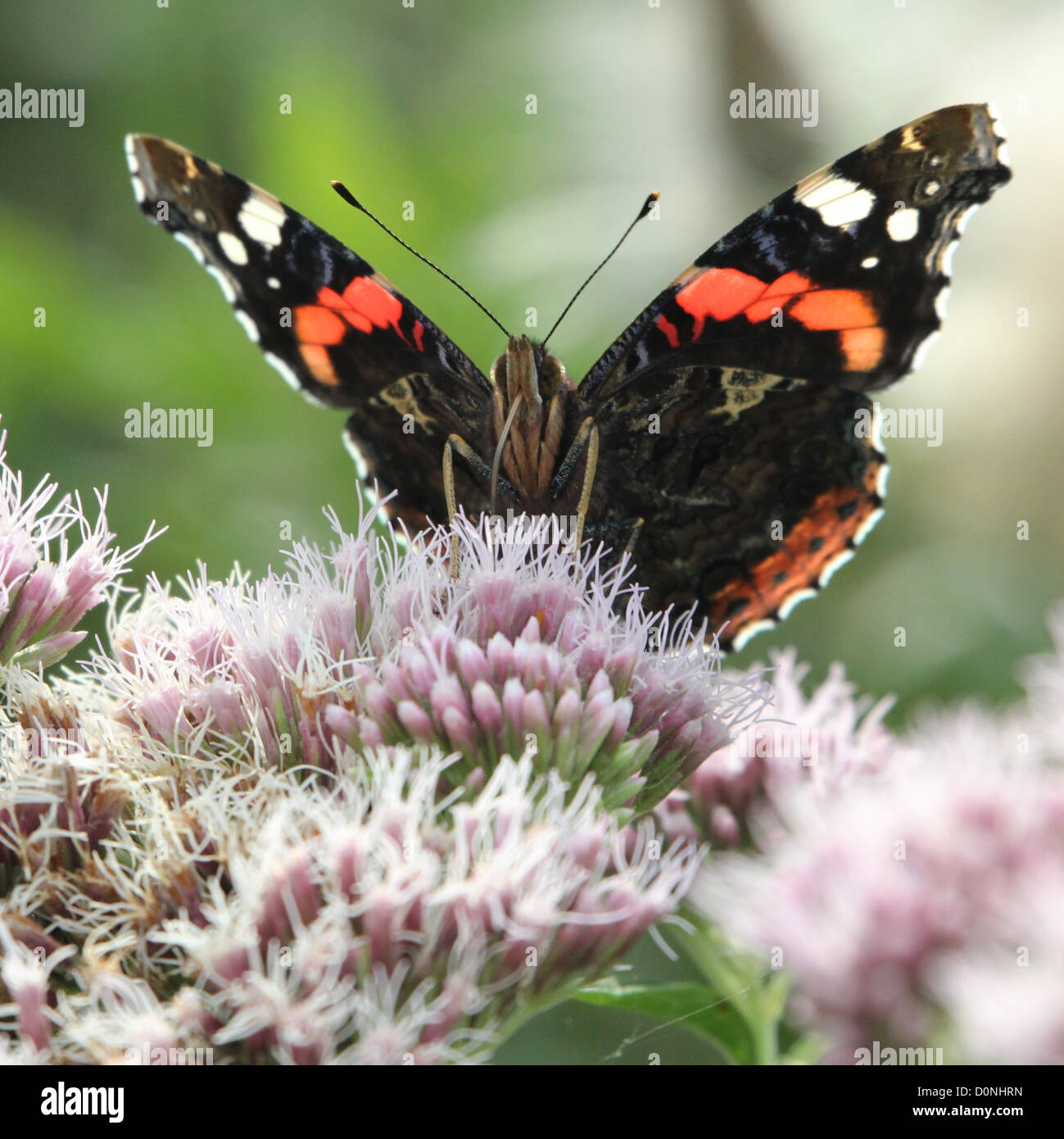 Frontal view of a Red admiral butterfly (vanessa atalanta) while foraging - Stock Image