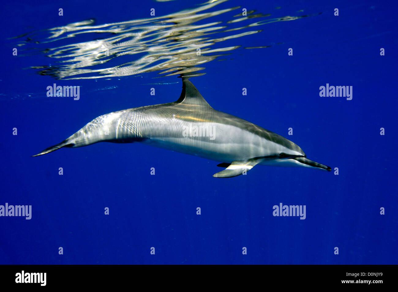 Spinner dolphin, Stenella longirostris, Kailua-Kona, Hawaii, North Pacific - Stock Image