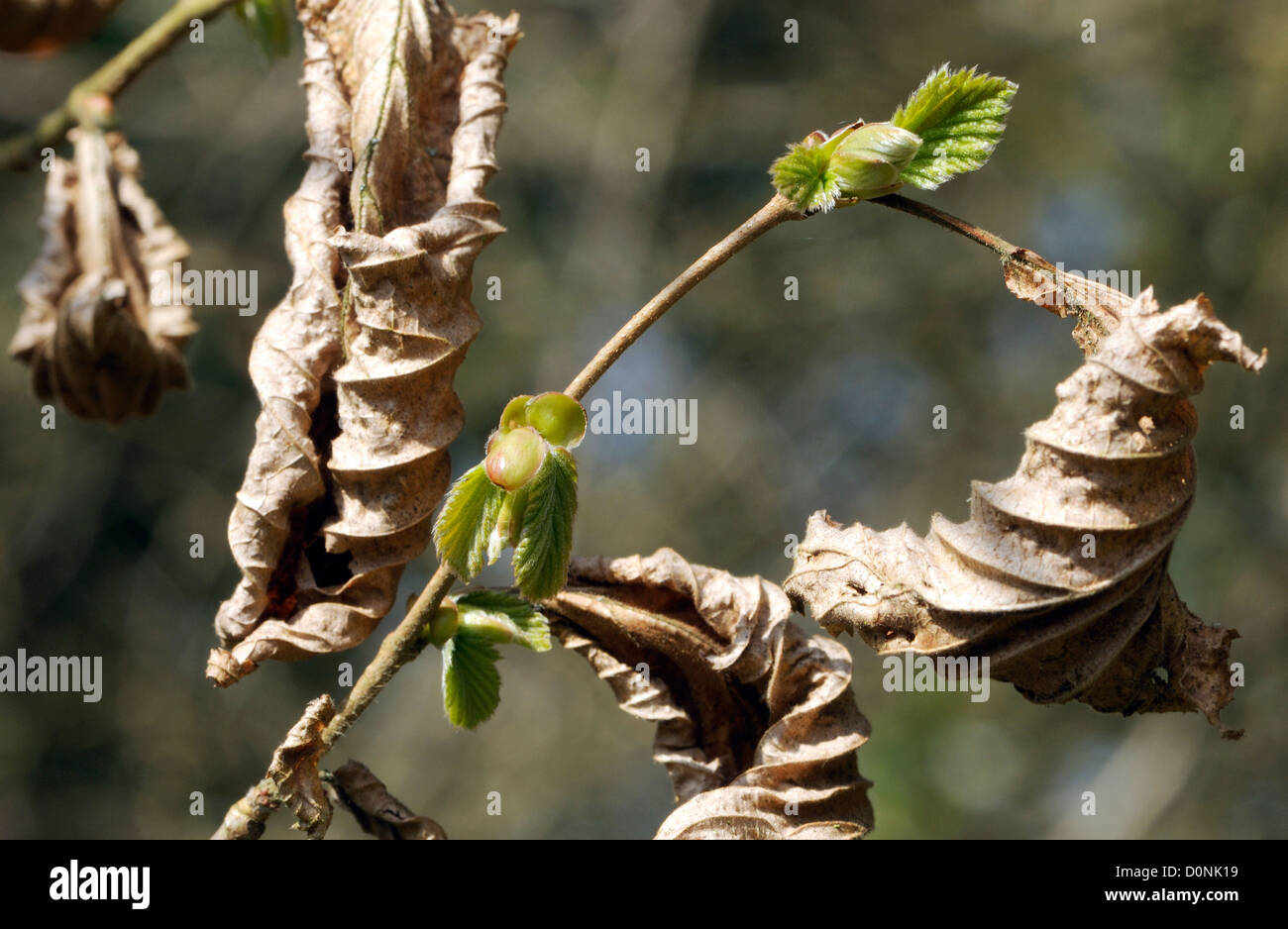 Hornbeam (Carpinus betulus) leaf buds open while last year's dead leaves are still on the tree. Bedgebury Forest, - Stock Image