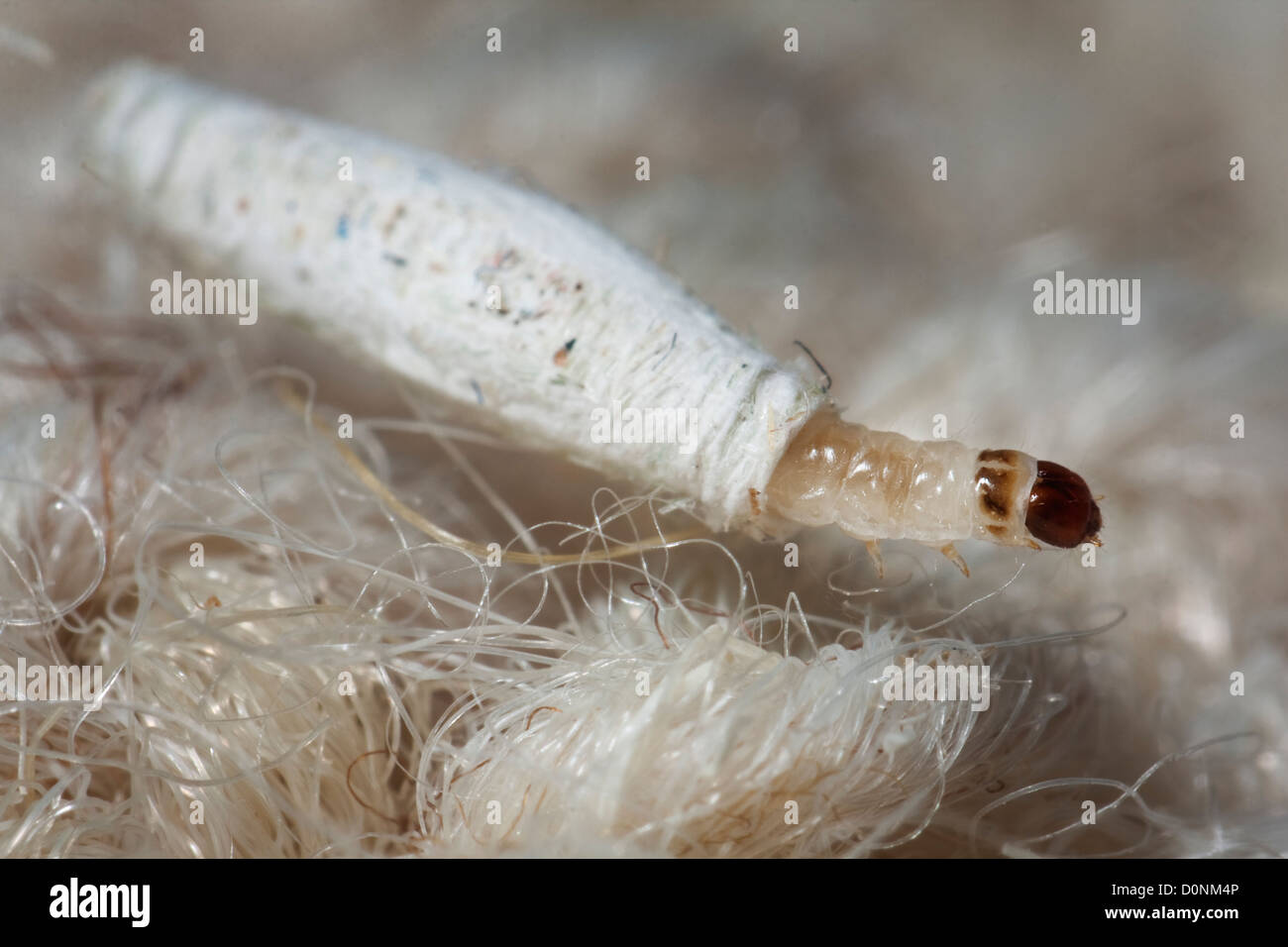 Carpet Or Common Clothes Moth Larvae Tineola Bisselliella