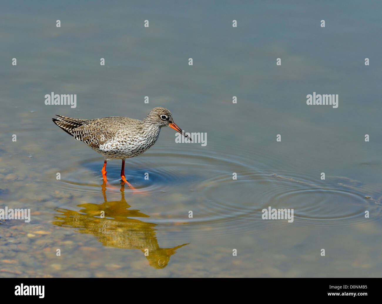 A Redshank (Tringa totanus) searches for invertebrates among the stones on the edge of a shallow lake at Rye Harbour - Stock Image