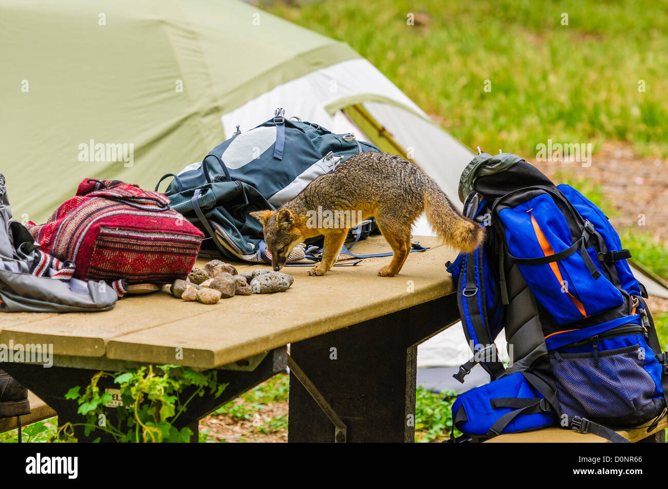 island fox and camping gear at scorpion campground, santa cruz stock