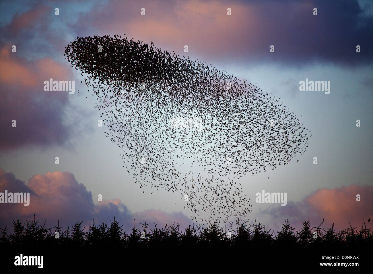 Starling Sturnus vulgaris roost at davidstow disused aerodrome in Cornwall - Stock Image