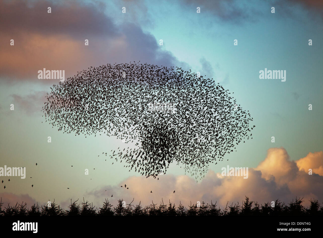 Starling Sturnus vulgaris roost at davidstowe disused aerodrome in Cornwall - Stock Image