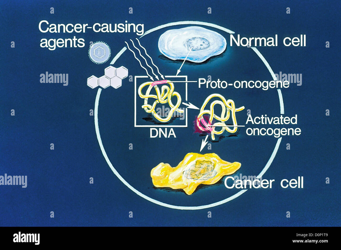 This illustration explains how normal cell becomes cancer cell. oncogene in normal cell appears regulate influence - Stock Image