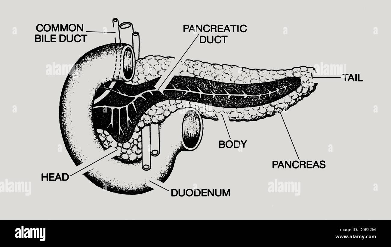 A line drawing showing the inner workings of the pancreas and its relation to the duodenum. - Stock Image