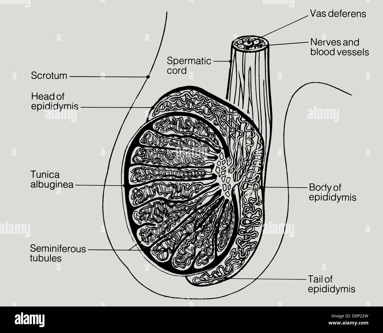 A line drawing of a lateral view of human testicles, including the scrotum, epididymis, and vas deferens. - Stock Image