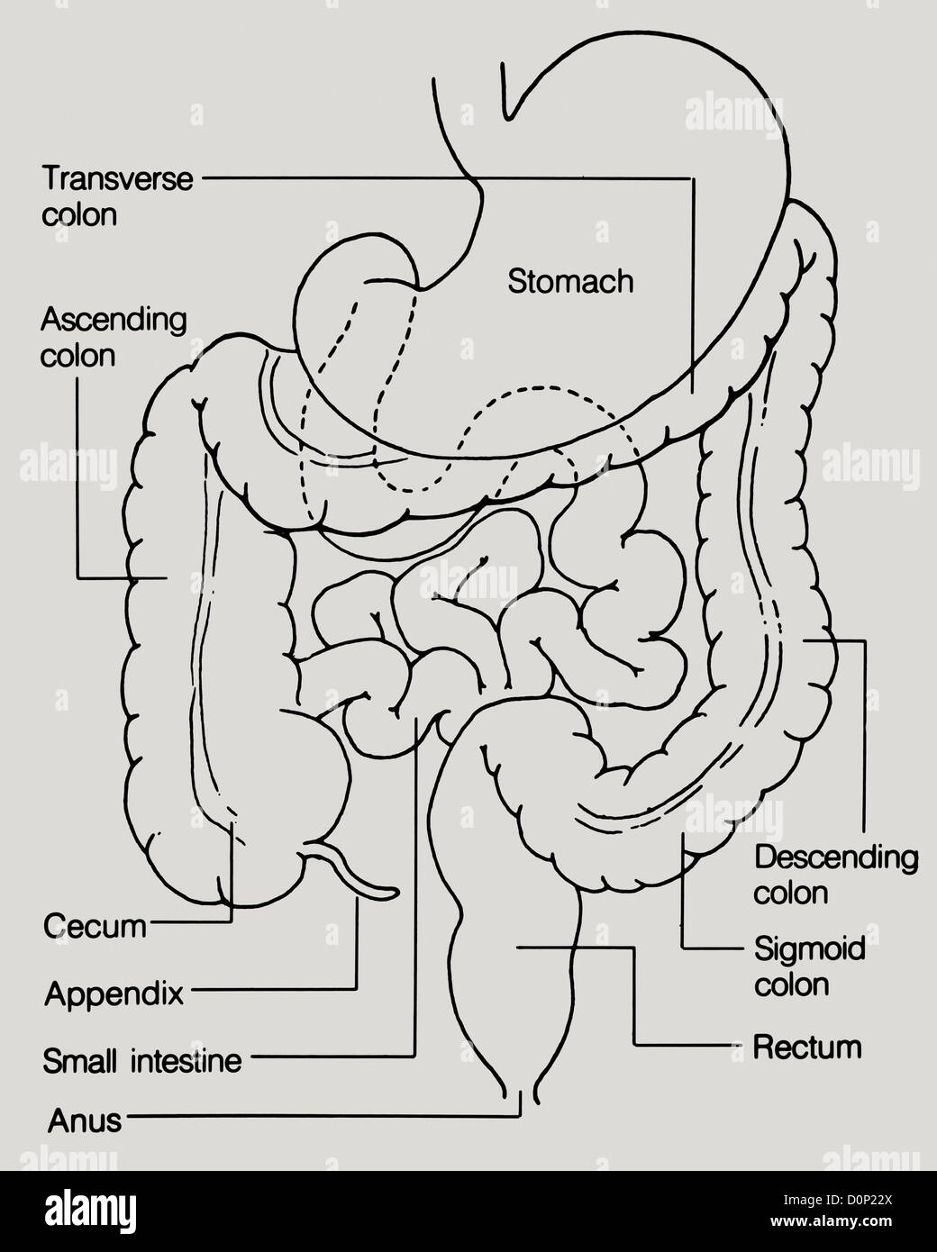 A line drawing showing the colon, rectum, stomach, cecum, appendix, small intestine, and anus. - Stock Image