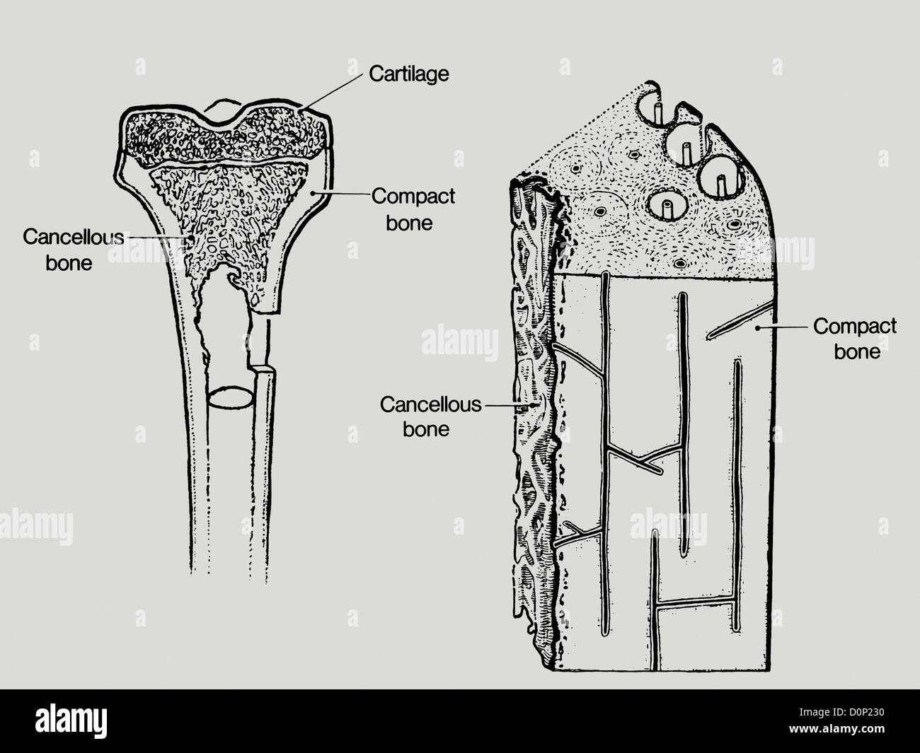 A line drawing showing the structure in bone, including cancellous or spongy bone, - Stock Image