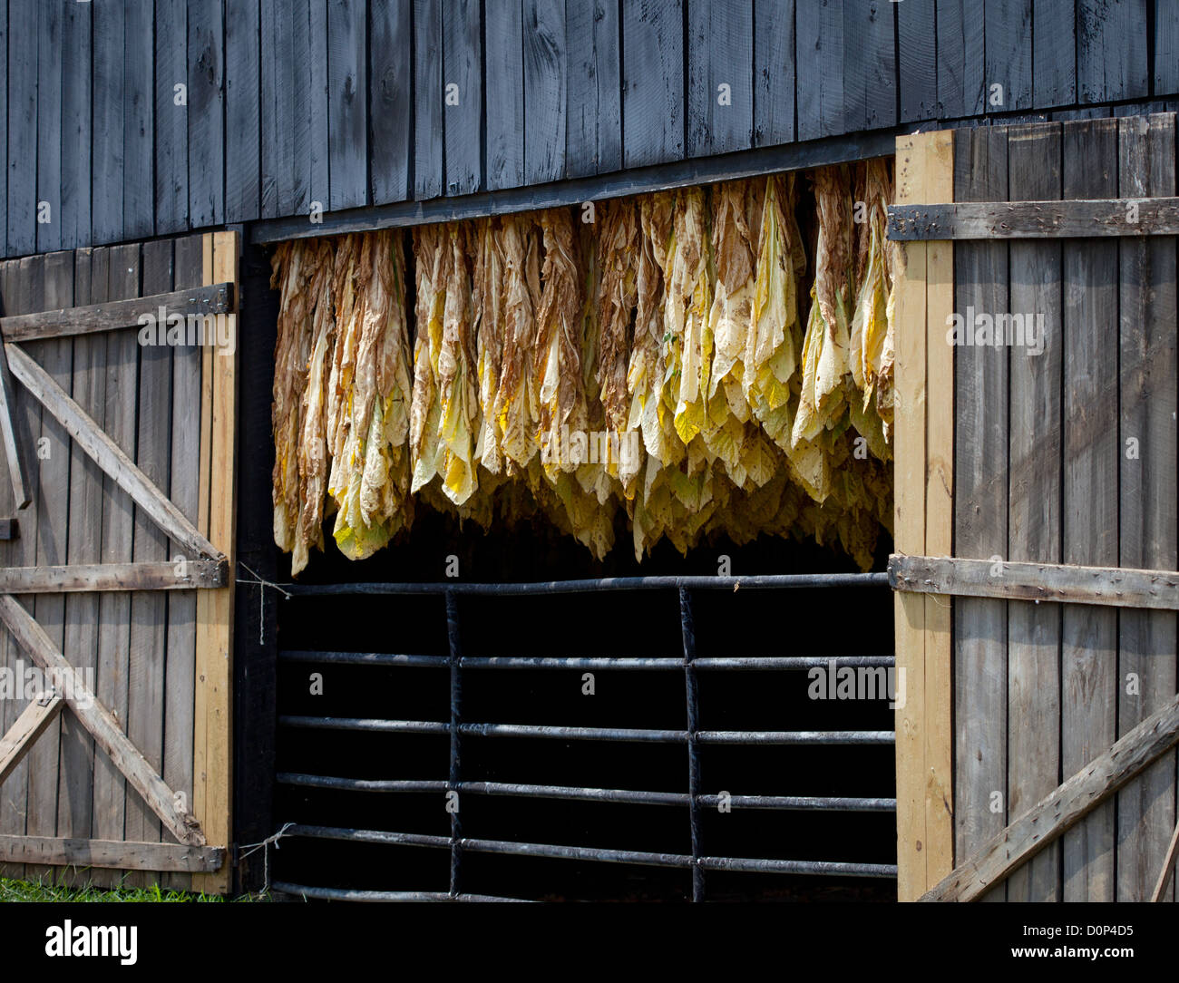 Row of tobacco leaves curing in a barn - Stock Image