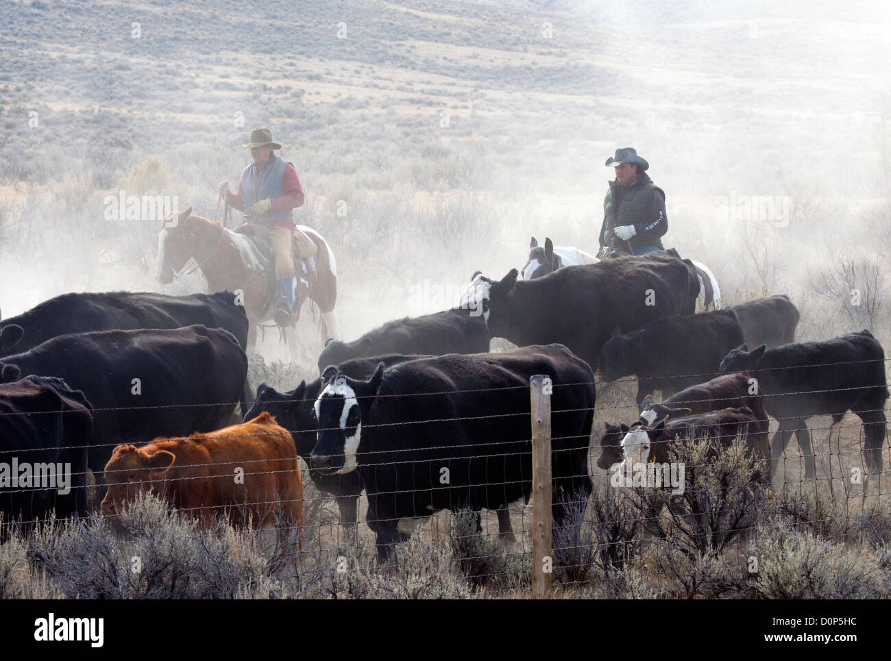 Two Cowboys Herding Cattle on a Dusty Road - Stock Image