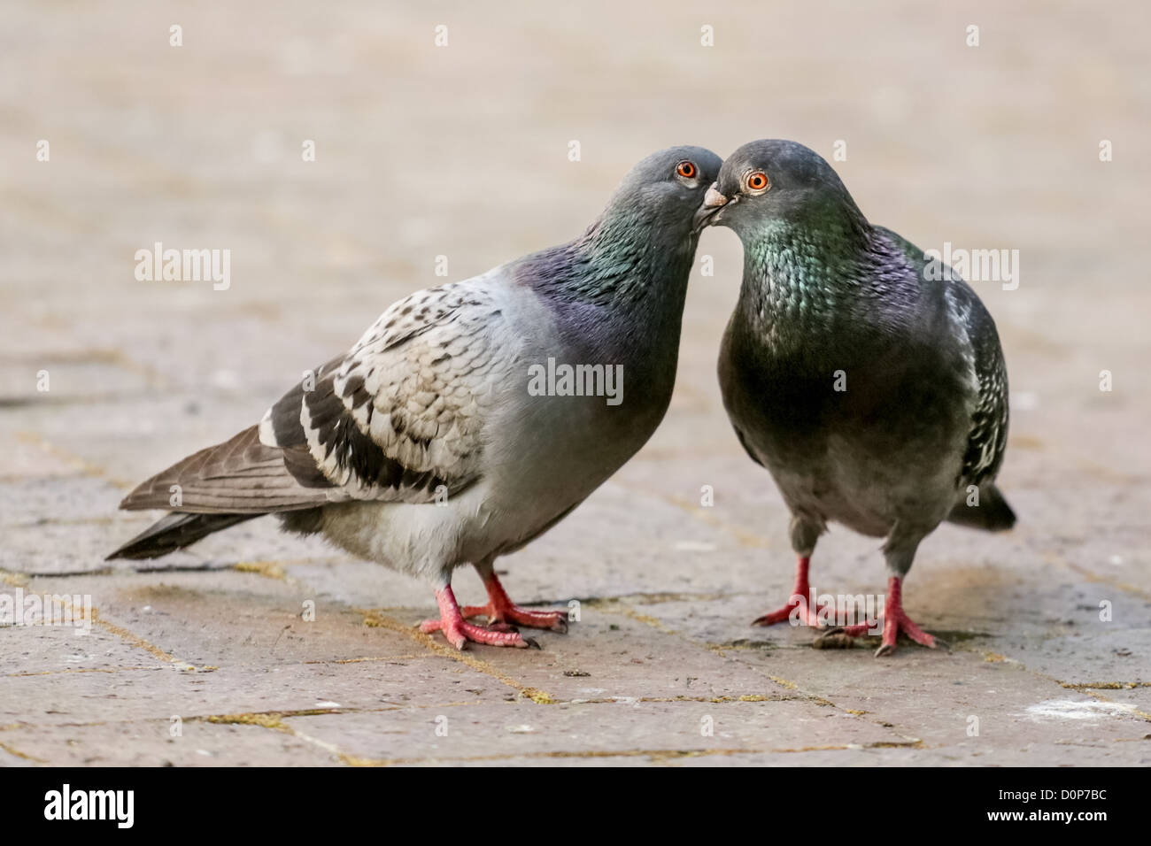 Two pigeon kissing by inter locking their beaks - Stock Image