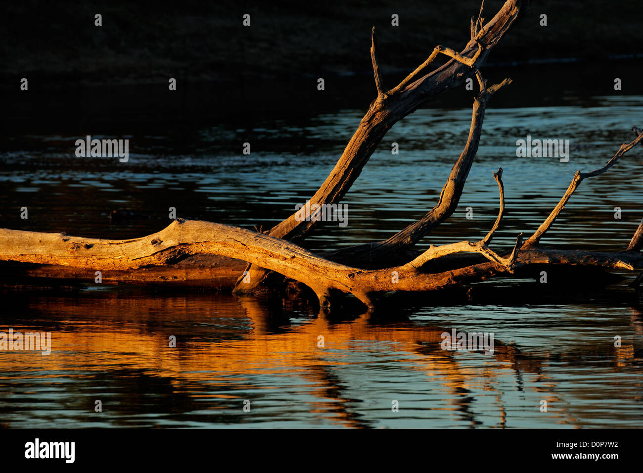 Dead tree branches with reflections in water from glowing late afternoon light - Stock Image