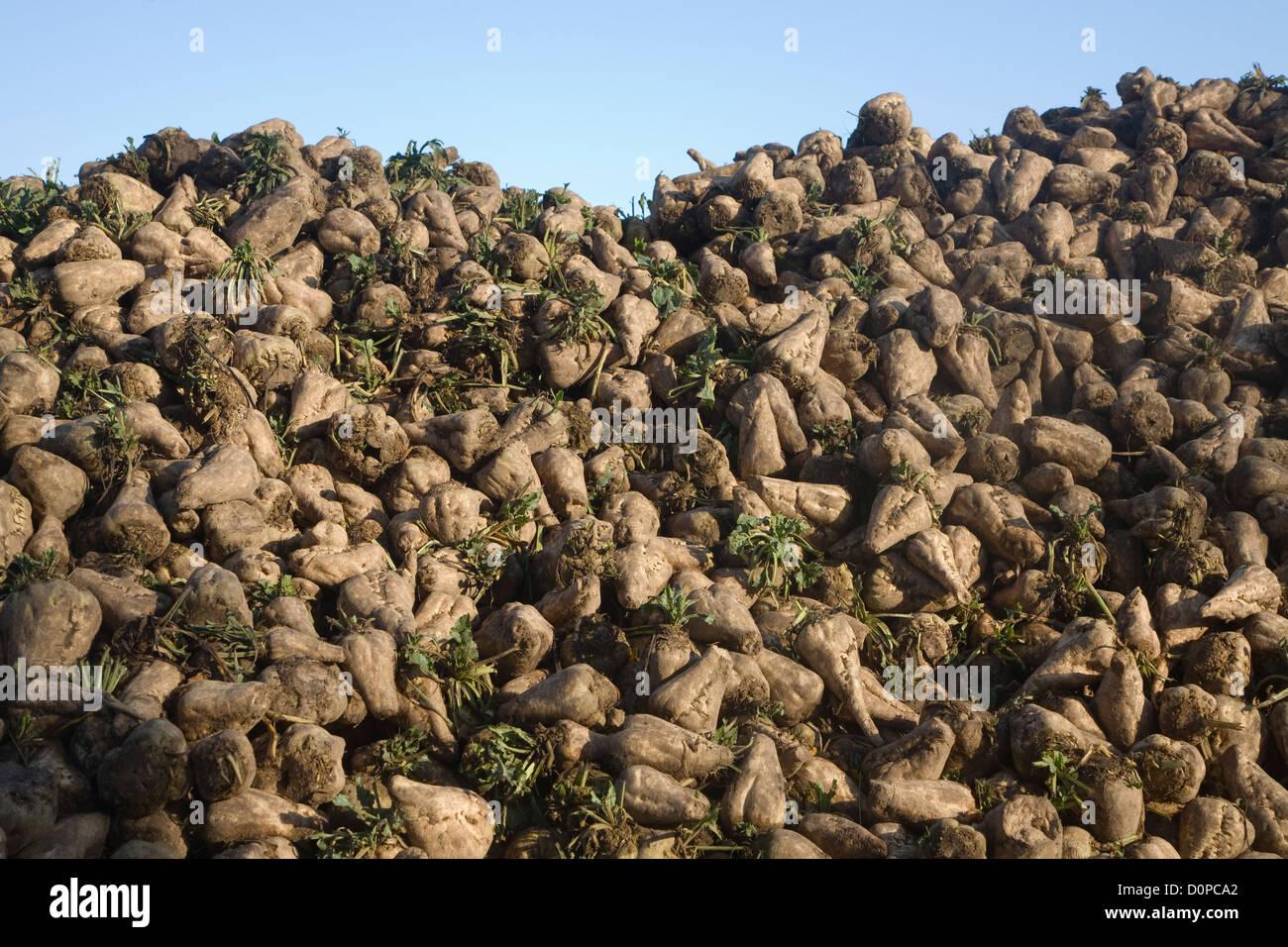Sugar beet piled up - Stock Image