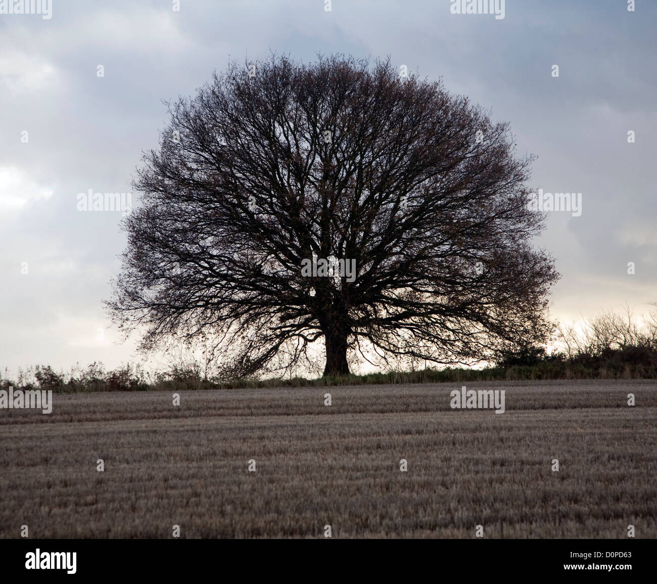 Overcast grey sky treeless small oak tree in field Sutton, Suffolk, England - Stock Image