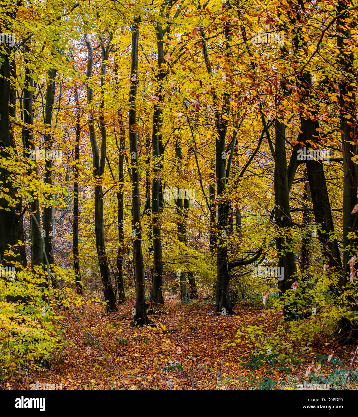 Young Beech ( Fagus sylvatica ) wood in Autumn UK - Stock Image