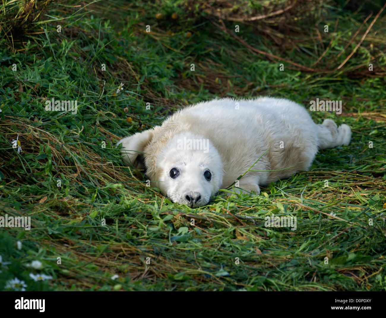 Atlantic Grey Seal pup (Halichoerus grypus) Stock Photo