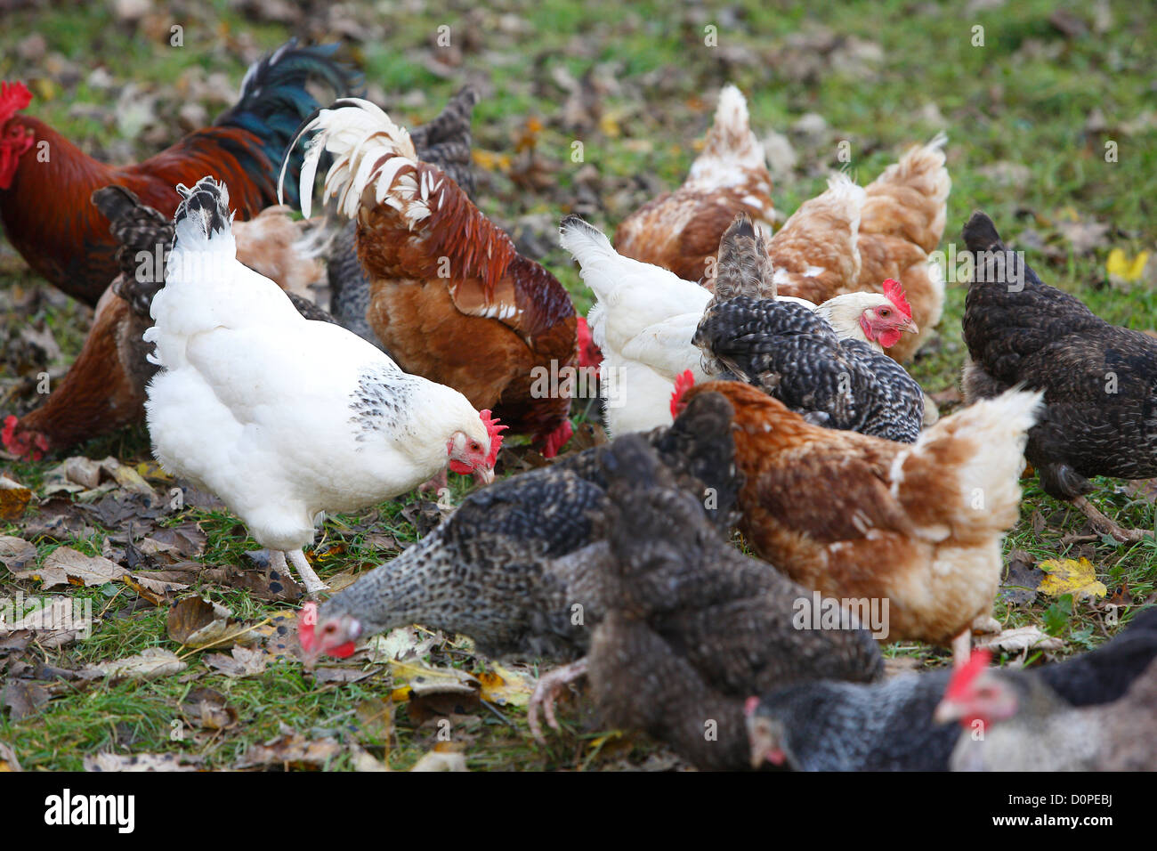 farm images chickens - Stock Image
