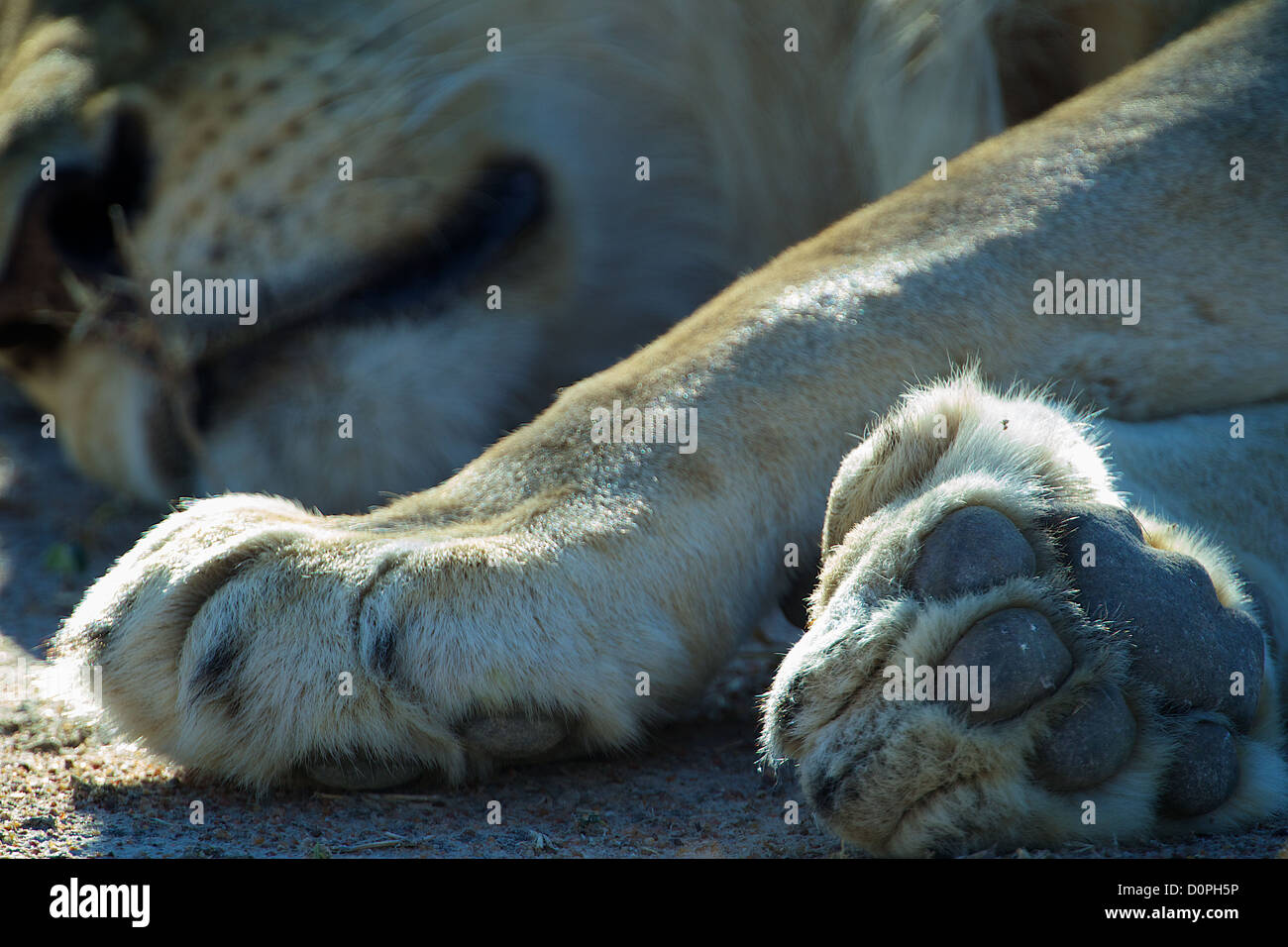 Lions paws Ruaha Game reserve . Southern Tanzania. Africa Stock Photo