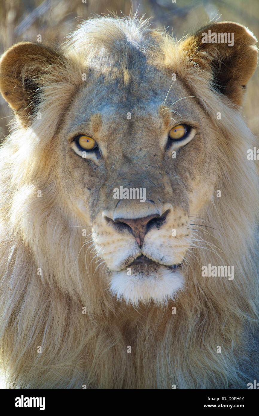 African Lion  Panthera leo  in Ruaha Game reserve . Southern Tanzania. Africa Stock Photo