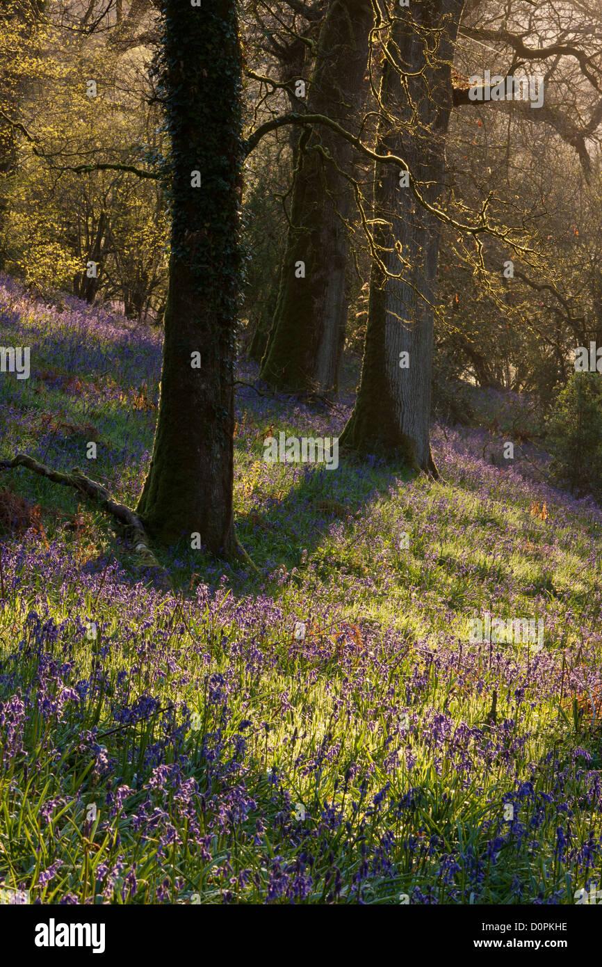 Bluebell Woods, Dorset, England, UK - Stock Image