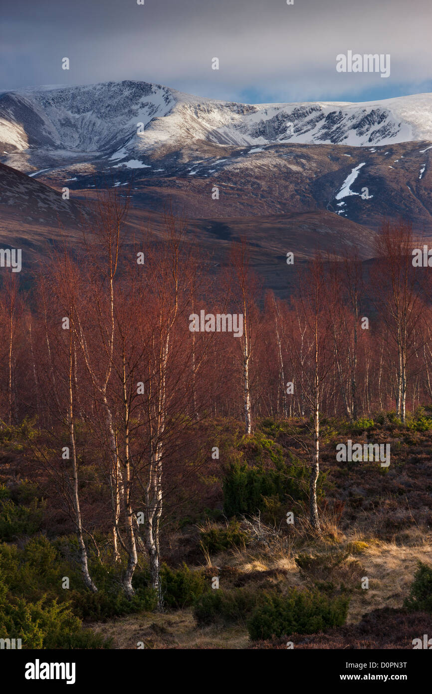 the Rothiemurchus forest and Cairngorms in winter, Scotland, UK - Stock Image