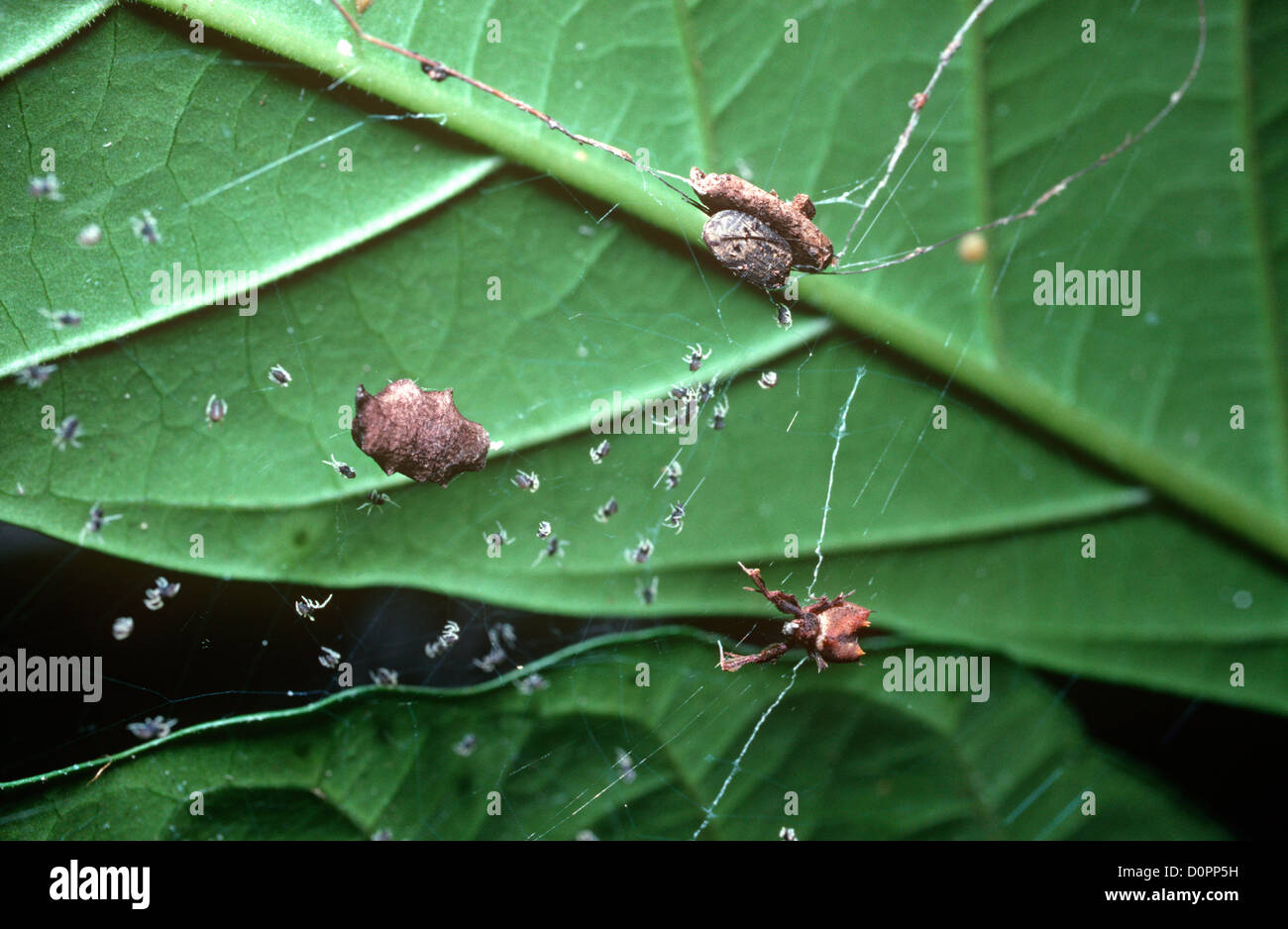 Feather-footed spider (Uloborus lugubris) female resembling dead leaf in web (egg-sac (left) and newly hatched babies) - Stock Image