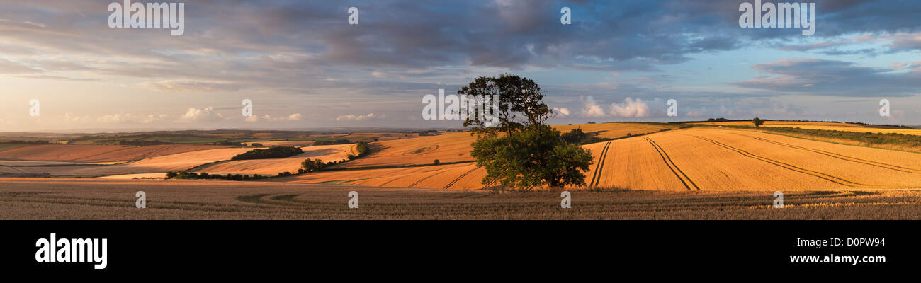 a field of wheat nr Piddletrenthide, Dorset, England, UK - Stock Image