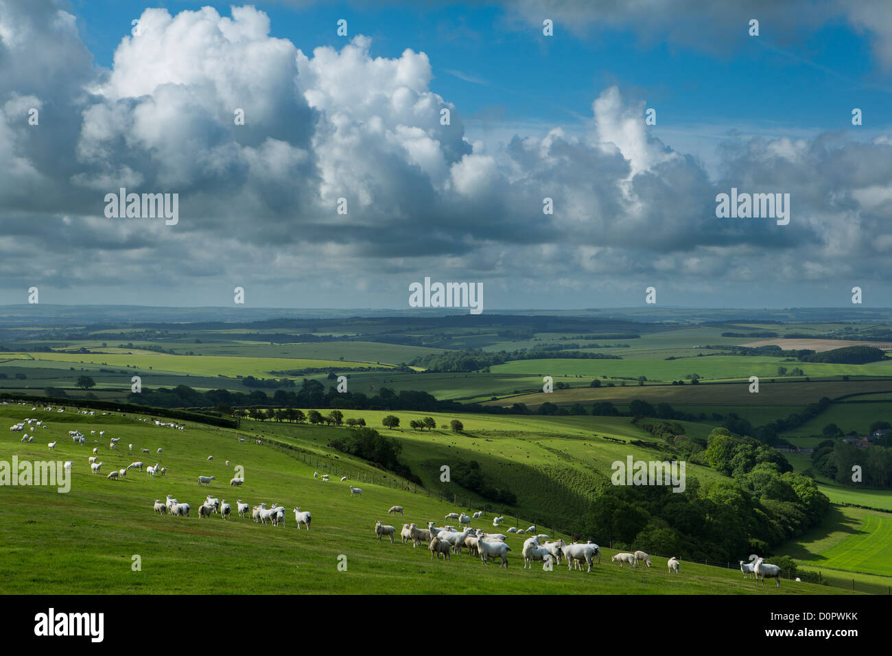 sheep in a field near the Dorset Gap, Dorset, England, UK - Stock Image
