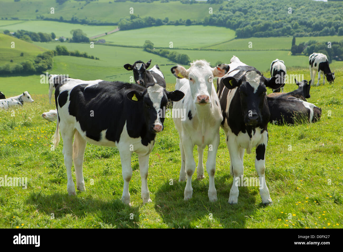 Cattle in a field near the Dorset Gap, Dorset, England, UK - Stock Image