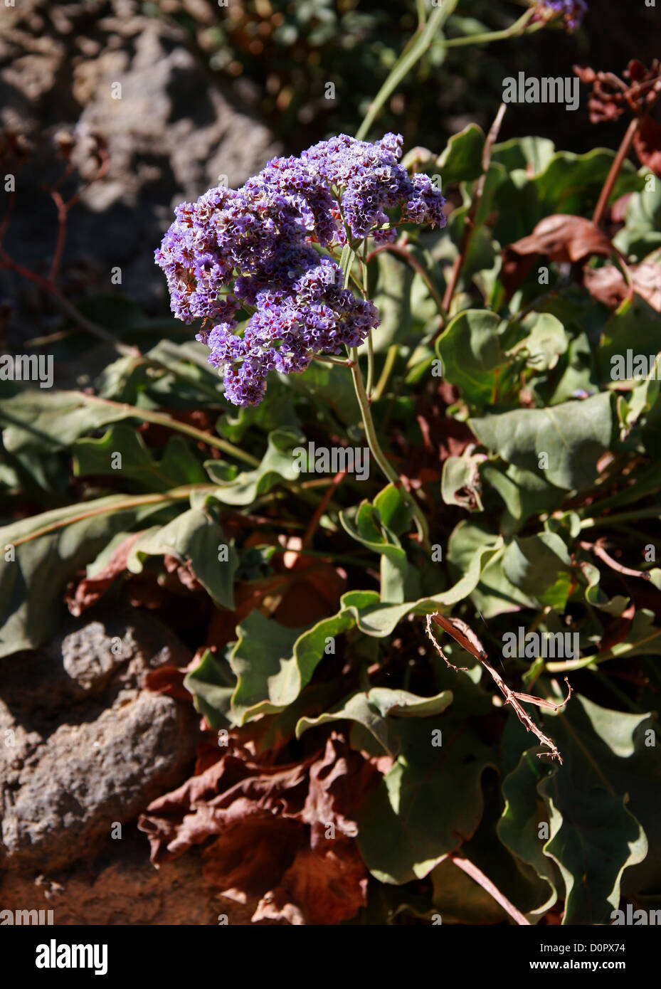 Sea Lavender, Statice, or Marsh-rosemary, Limonium perezii, Plumbaginaceae. Tenerife, Canary Islands. - Stock Image