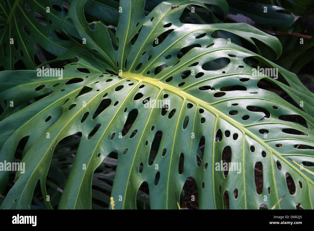 A Leaf of the Swiss Cheese Plant, Monstera deliciosa, Araceae. Central America. - Stock Image