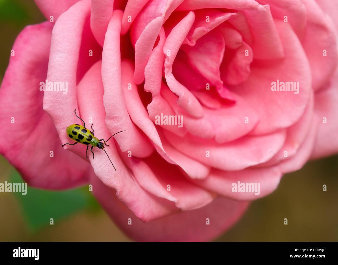 Spotted Cucumber Beetle (Diabrotica undecimpunctata) on rose blossom - Stock Image
