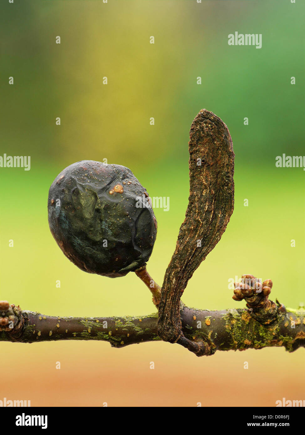Taphrina pruni - the pocket or bladder Plum gall. A fungal pathogen which causes distortion of prunus (plum, sloe, - Stock Image