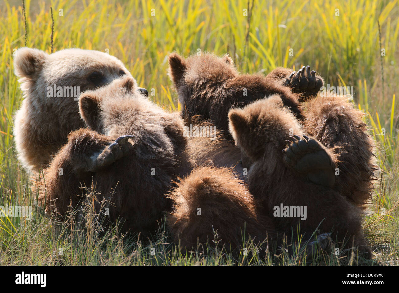 Sow with triplet Brown or Grizzly Bear spring cubs, Lake Clark National Park, Alaska. - Stock Image